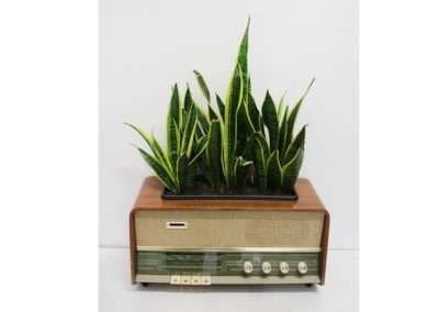 The sound of Sanseveria's